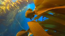 Surf Perch On Kelp Frond, Bat Ray Swims By