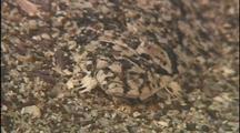 Sand Dab Flatfish Camouflaged On Sand