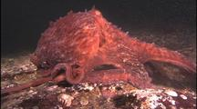 Giant Pacific Octopus Travels Across Bottom, Swims Away