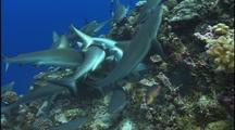Reef Shark Swarm On Food