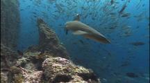 Reef Shark Through School Fish