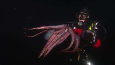Diver Holds Giant Humboldt Squid, Inks