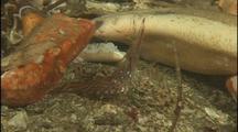 Shrimp Feeds Near Giant Octopus Den