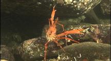 Crab Lurks Near Giant Octopus Den