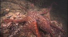 Giant Octopus Cruising Reef