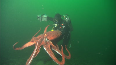 Cameraman Films Giant Octopus