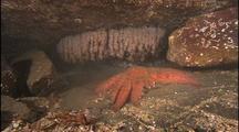Sunflower Sea Star Passes Giant Octopus Den With Eggs