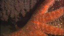Sunflower Sea Star Near Giant Octopus Den With Eggs