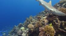 Grey Reef Sharks Hunting