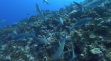 School Of Grey Reef Sharks
