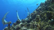 School Of Grey Reef Sharks Hunting