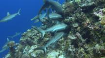 Grey Reef Sharks Swarm, Feed