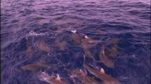 Grey Reef Sharks Swarm At Surface