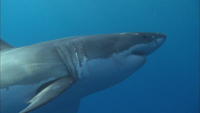 Great White Swims Past Camera