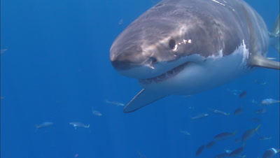 Great White Shark Swims To Camera