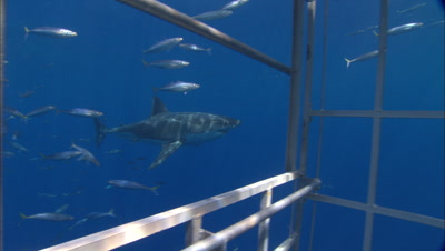 Great White Shark Swims By Diver Cage