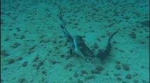 White Tip Shark Mating