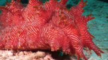 Spiky Red Sea Cucumber, Thelenota Rubralineata