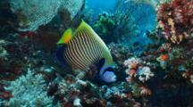 Emperor Angelfish, Swims Around Reef