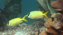 Pair Of Rabbitfish On Reef