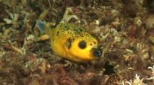 Yellow Pufferfish
