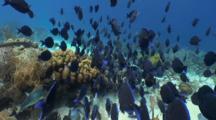 Blue Tangs Schooling In Bonaire