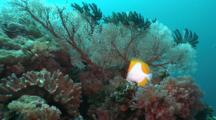Reef Scene, Sea Fans, Gorgonians, Pyramid Butterflyfish, Hemitaurichthys Polylepis