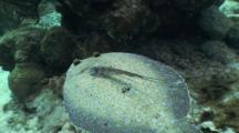 Peacock Flounder, Bothus Lunatus Swimming