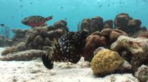 Whitespotted Filefish Pair Feeding