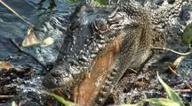 Crocodile Grabs Fish From Shore, Swims Off