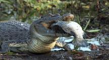 Crocodile Feeds On Fish