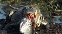 Crocodile Feeds On Fish Onshore, Person Photographs