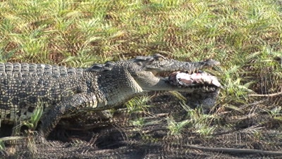 Reptile Feeding Stock Footage