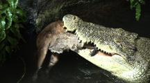 Crocodile Feeds On Wallaby