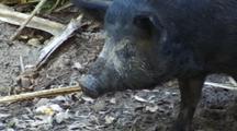 Wild Boar Or Feral Pig Walks Through Mud, Bush