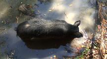 Wild Boar Or Feral Pig Wading