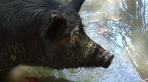 Wild Boar Or Feral Pig