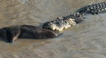 Crocodile Drags Feral Pig, Boar Into Water