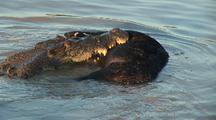Crocodile Feeds On Feral Pig, Boar In Water