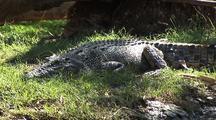 Crocodile At Water's Edge