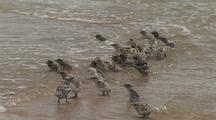 Shorebird Chicks, Possibly Crested Tern, On Beach