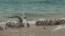 Adult Bird With Chicks On Beach, Possibly Crested Tern