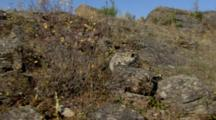 Big Cat, Possibly Snow Leopard On Rocky Hilltop