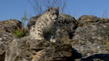 Big Cat, Possibly Snow Leopard On Rocky Hillside