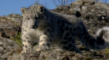 Big Cat, Possibly Snow Leopard, Rests On Rocky Hillside