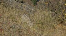 Big Cats, Possibly Snow Leopards On Rocky Hillside