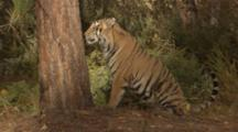 Siberian Tiger Scratches Tree In Forest