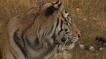 Siberian Tiger Rests In Grass, Licks Paw