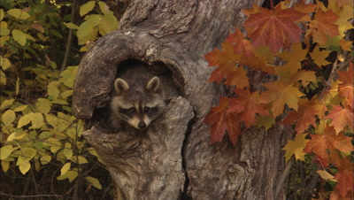 Raccoon In Hole In Tree