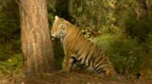 Siberian Tiger In Forest Setting, Paws And Licks Tree